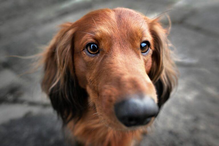 cães_visão_1