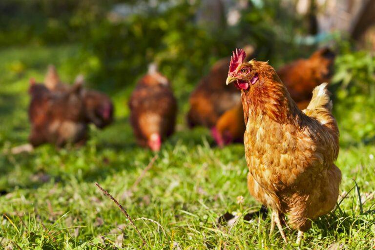 galinhas_1