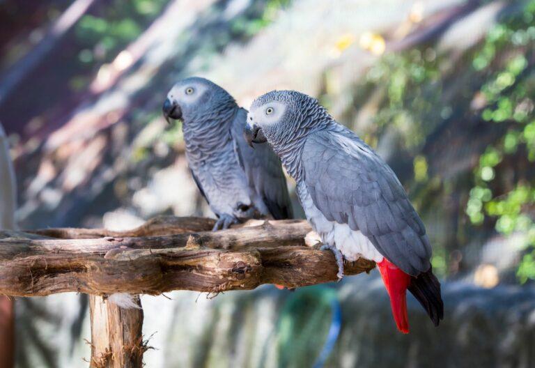 papagaio-cinzento