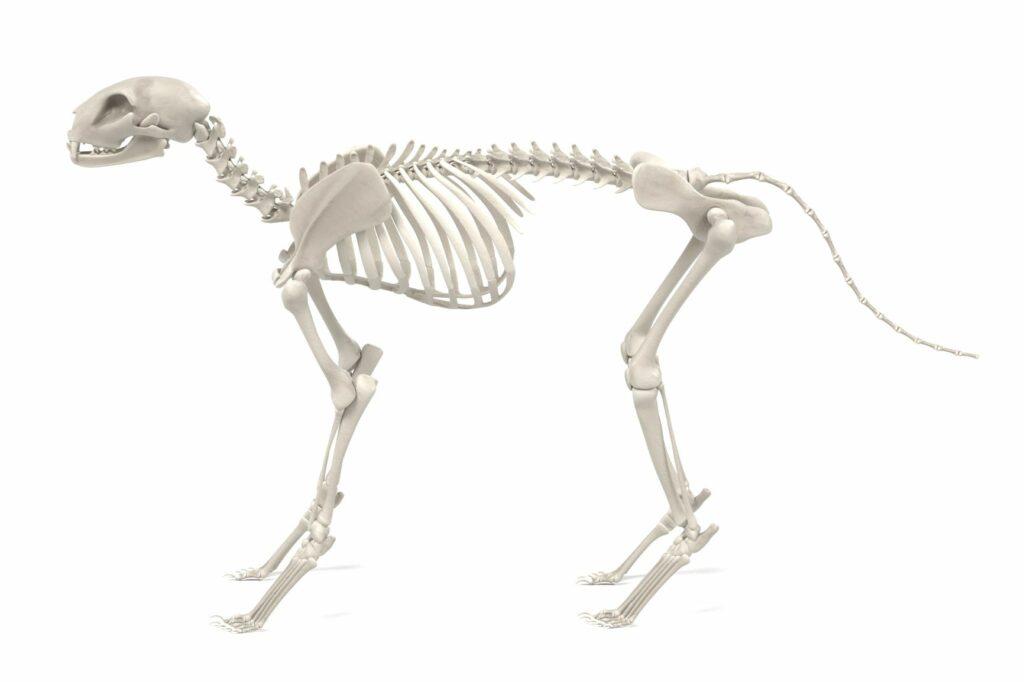 A anatomia dos gatos: esqueleto de um gato