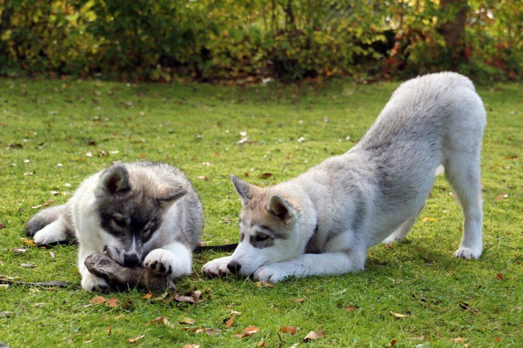 Mudança de dentes nos cachorros: Morder alivia os sintomas