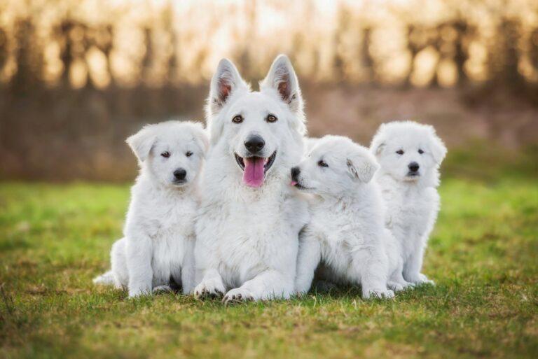 Desenvolvimento dos cachorros