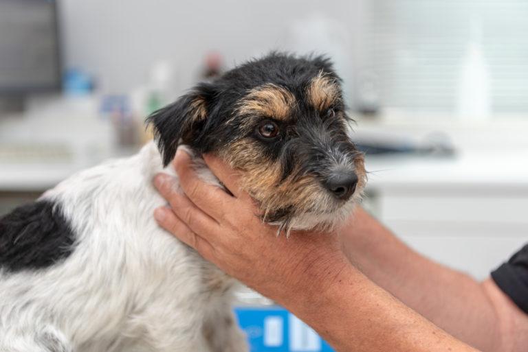 Hipotiroidismo nos cães: A tiroide é uma pequena glândula situada na base da garganta