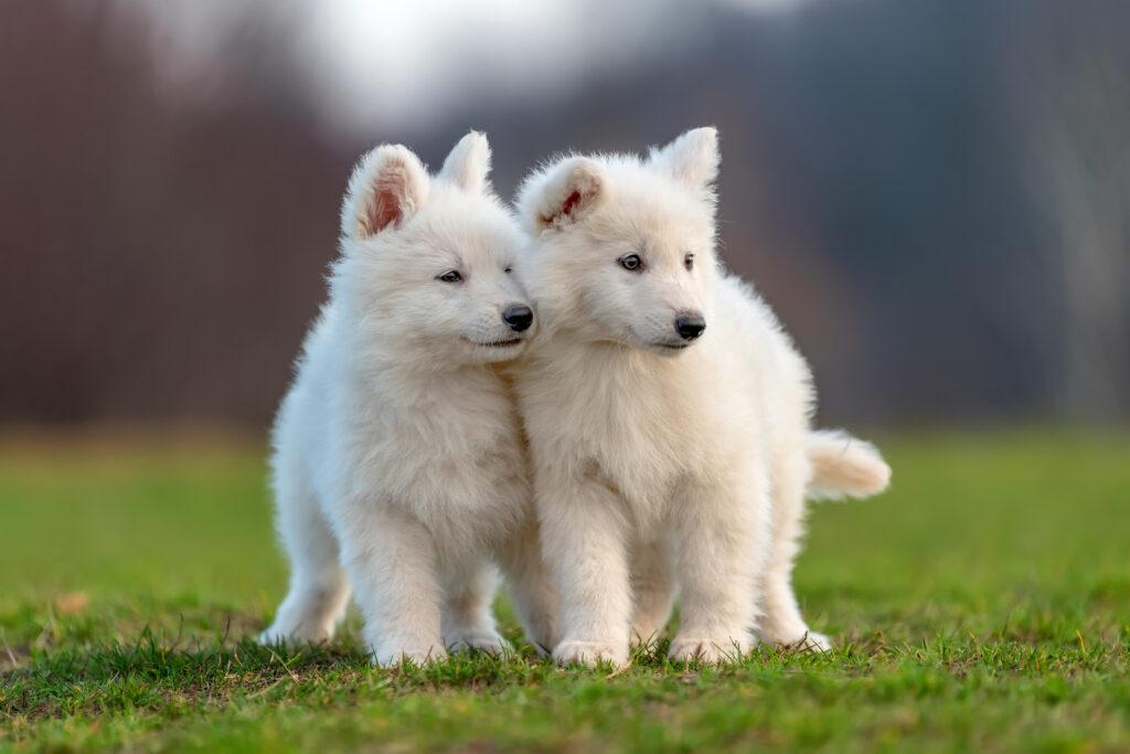 A Coccidiose canina é uma doença perigosa para os cachorros