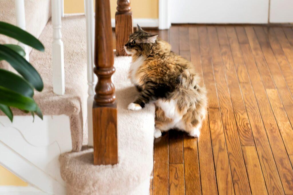 Exercício físico para gatos: estimule o seu gato a subir escadas