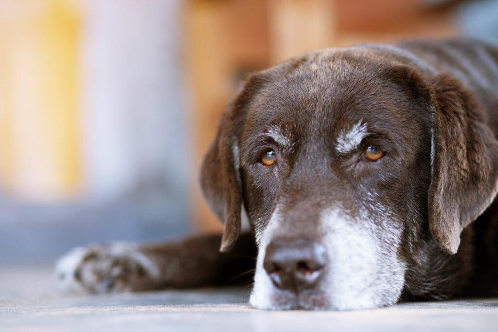 Hipotiroidismo nos cães: O hipotiroidismo canino altera o aspeto dos cães