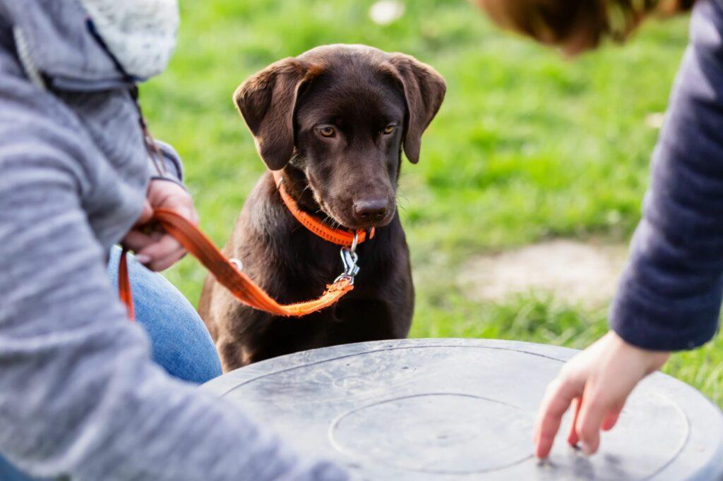 Desenvolvimento dos cachorros: Labrador na escola