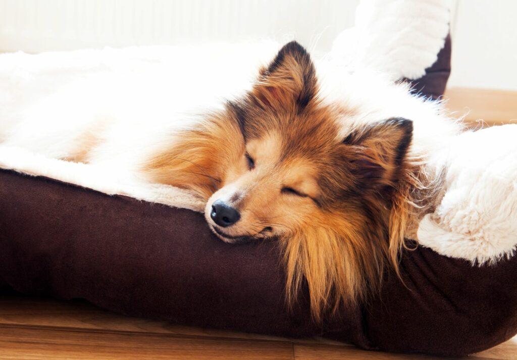 Prendas para cães no dia dos namorados: cão a dormir