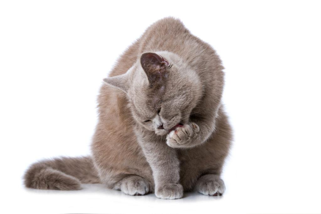 Problemas de higiene nos gatos: gato a tomar banho