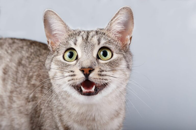 Sons de gatos: o miar tem muitos significados