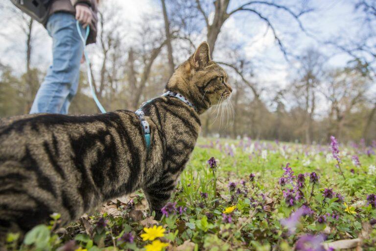 Habituar gatos a passear com trela: Cuidados a ter