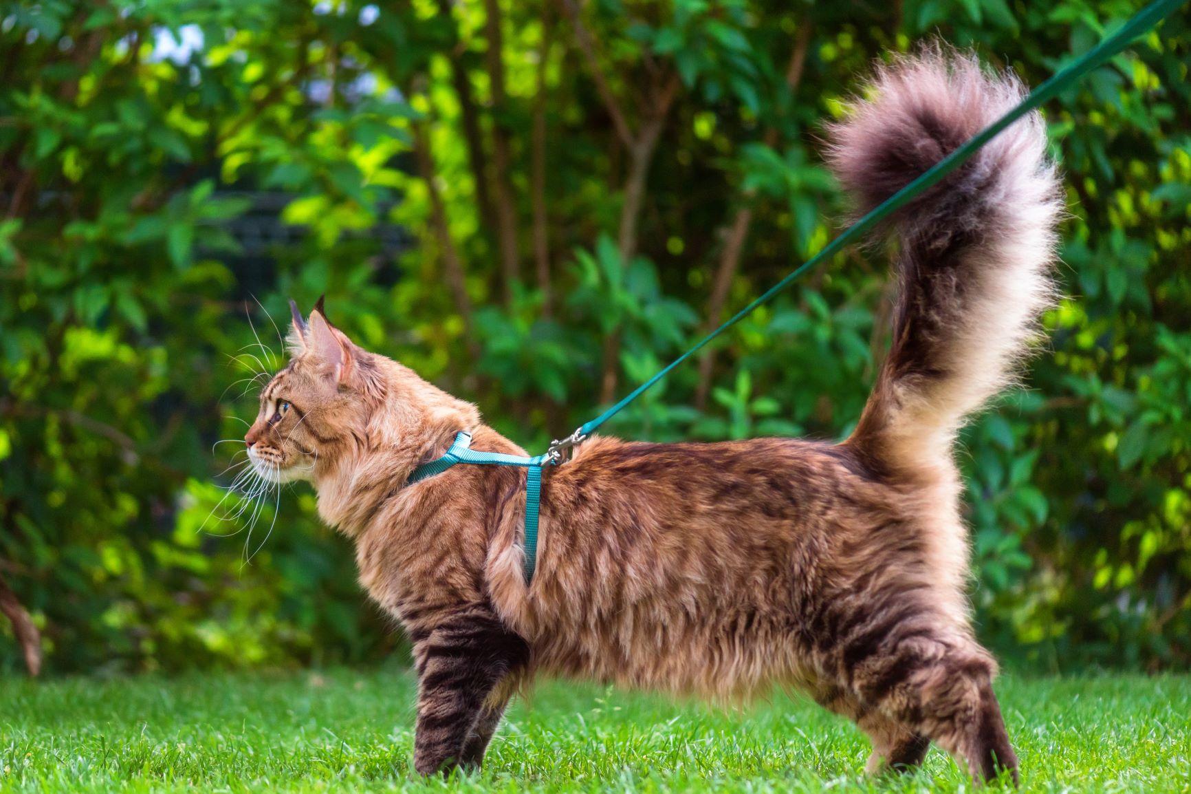 Habituar gatos a passear com trela | Dicas e cuidados a ter