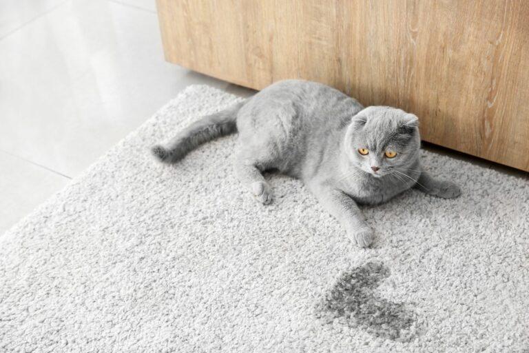 Eliminar manchas e cheiro a urina de gato: soluções caseiras e produtos específicos