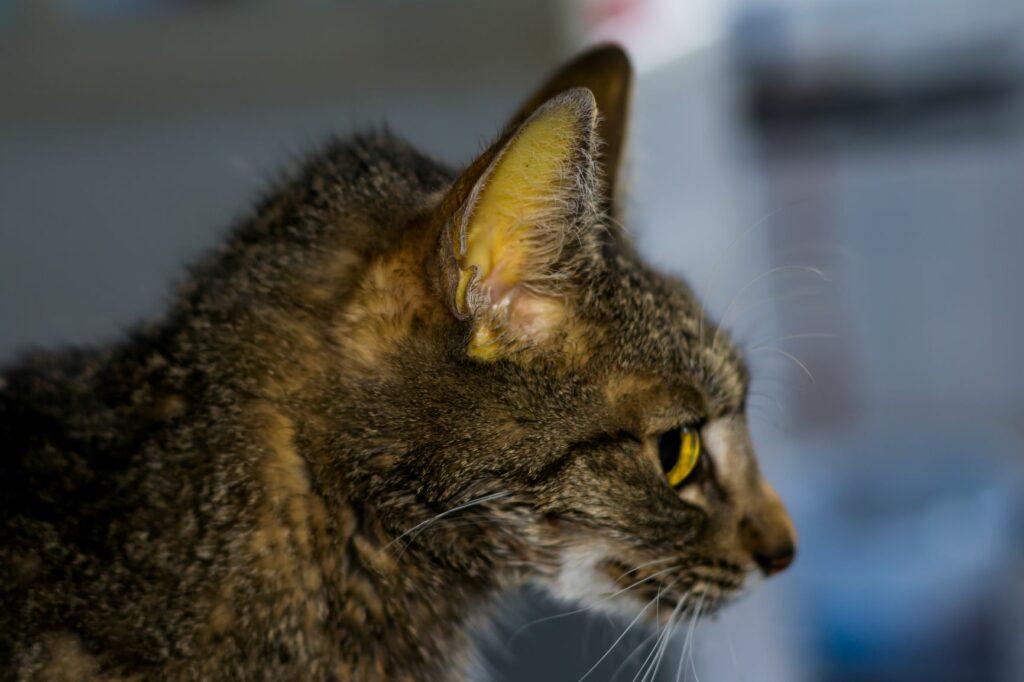 Icterícia: coloração amarelada nas mucosas de um gato com Peritonite Infeciosa Felina