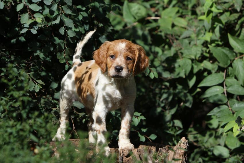 Epagneul Breton: cachorrinho