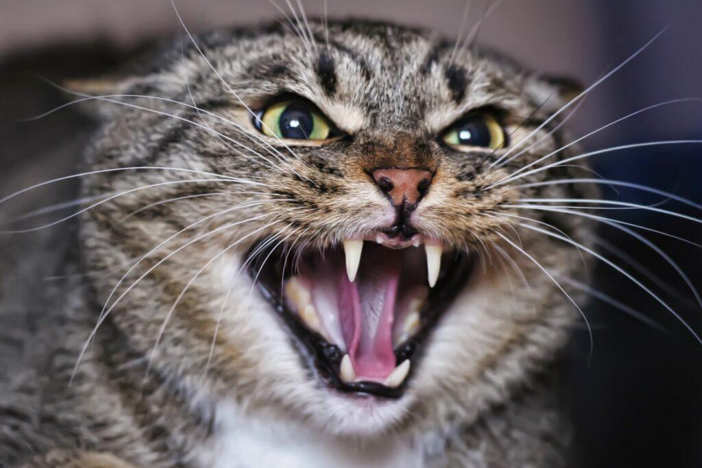 Sons de gatos: Um gato muito zangado ou assustado mostra os dentes e bufa