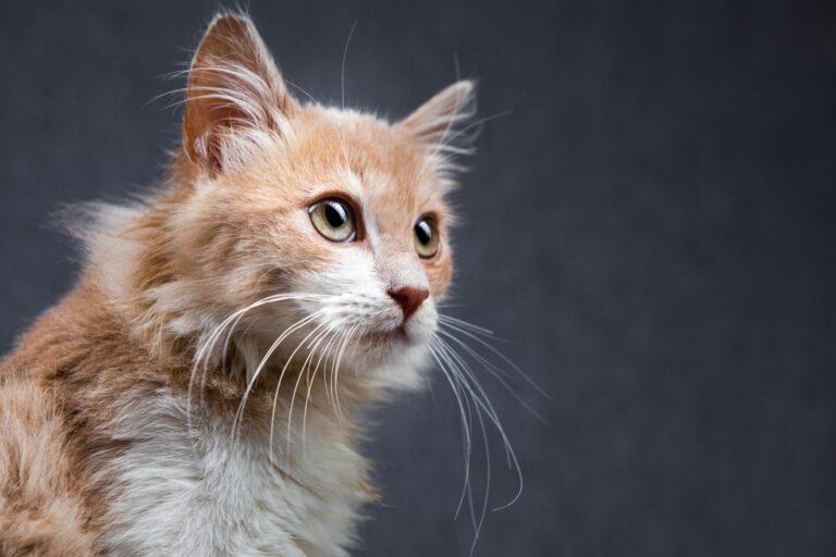 Os sentidos dos gatos: conheça melhor o seu gato