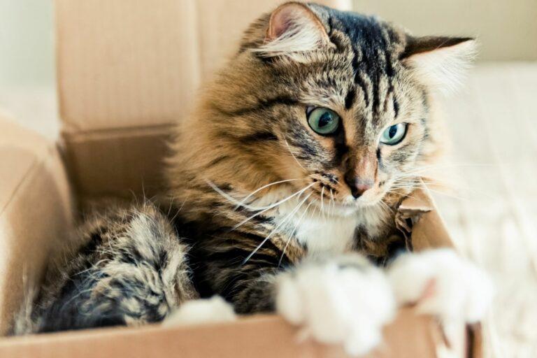 gato caixa cartao-768×512