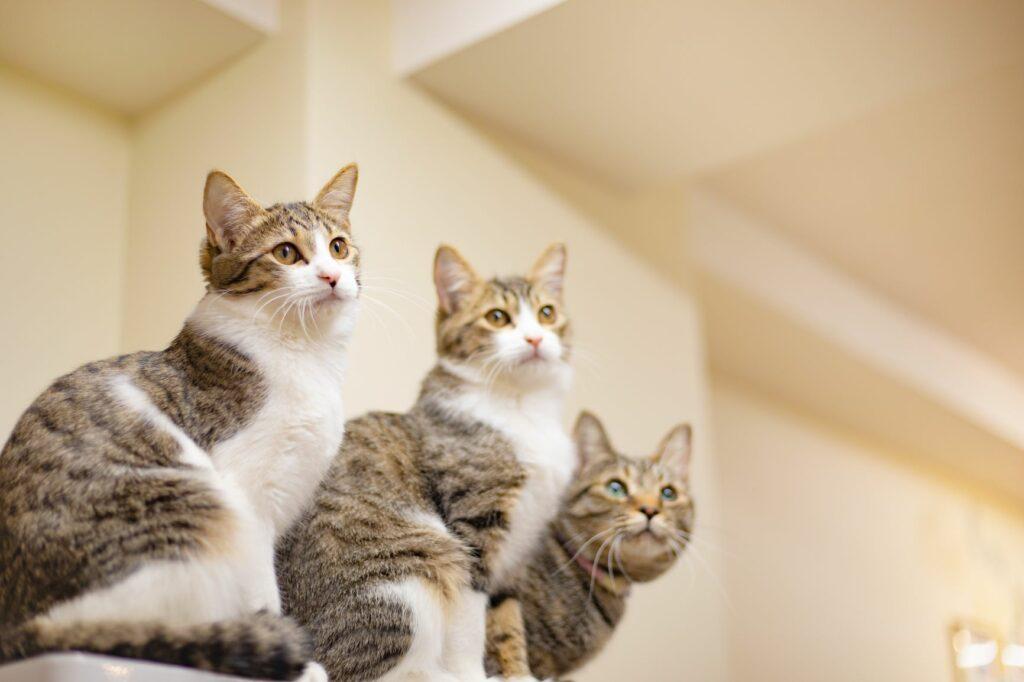 Giardíase felina: esta doença transmitesse entre gatos, por isso Se um gato infetado viver com outros gatos todos eles devem ser testados para a giardíase.