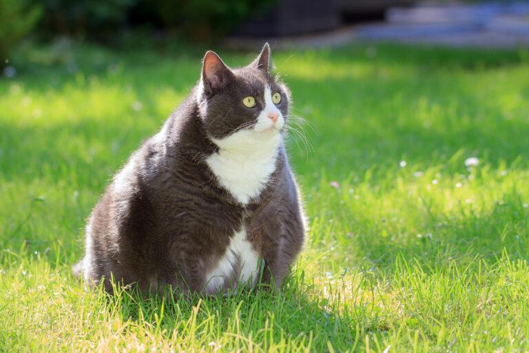 Tem um gato obeso? Em muitos casos é obvio que o gato tem excesso de peso.