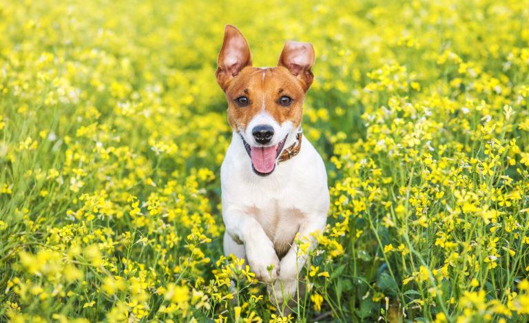 Parasitas dos cães: Na relva e ervas podem esconder-se números parasitas que podem atacar o seu cão, como por exemplo ácaros e carraças.