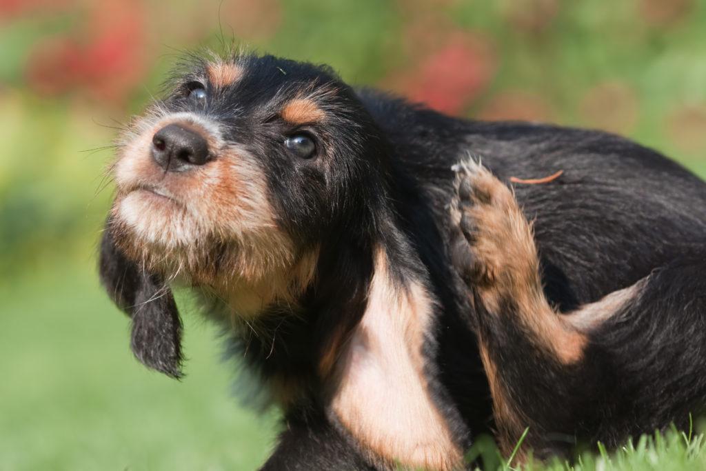 Parasitas dos cães: Comichão é um sinal clássico de uma infestação de pulgas.