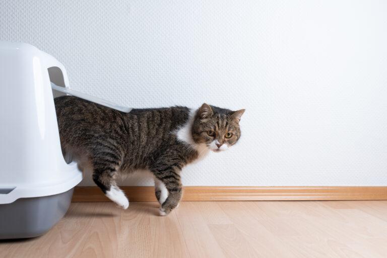 Cistite felina: os gatos têm tendência a desenvolver inflamações na bexiga
