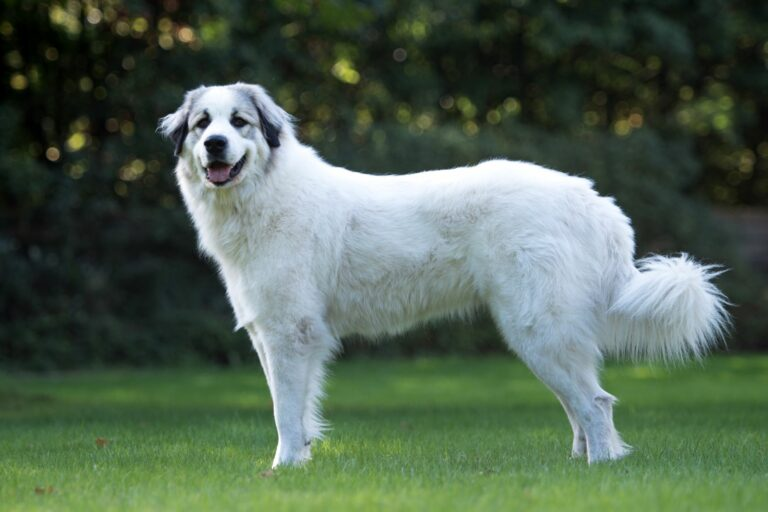O imponente aspeto do Cão de Montanha dos Pirenéus explica-se pelo seu passado como cão pastor e cão de guarda que protegia os rebanhos contra ursos e lobos.