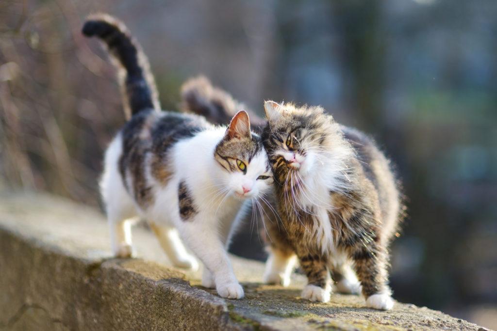 Castração dos gatos: Os gatos não devem sair de casa sozinhos antes de estarem castrados para evitar o nascimento indesejado de gatinhos.