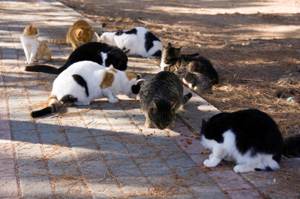 Castração dos gatos: Um casal de gatos não castrados pode ter muitos gatinhos em pouco tempo, para os quais não é possível encontrar um lar adequado.
