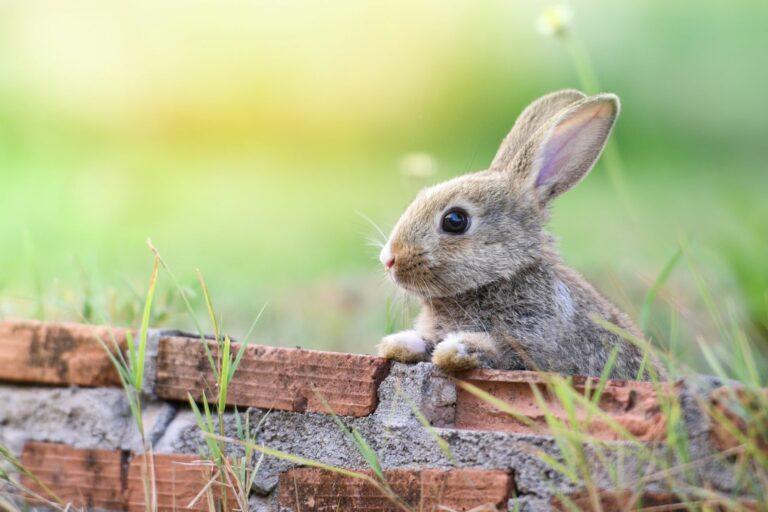 Como entreter um coelho: Em estado selvagem os coelhos estão sempre ocupados. Por isso em casa precisam de muitas brincadeiras