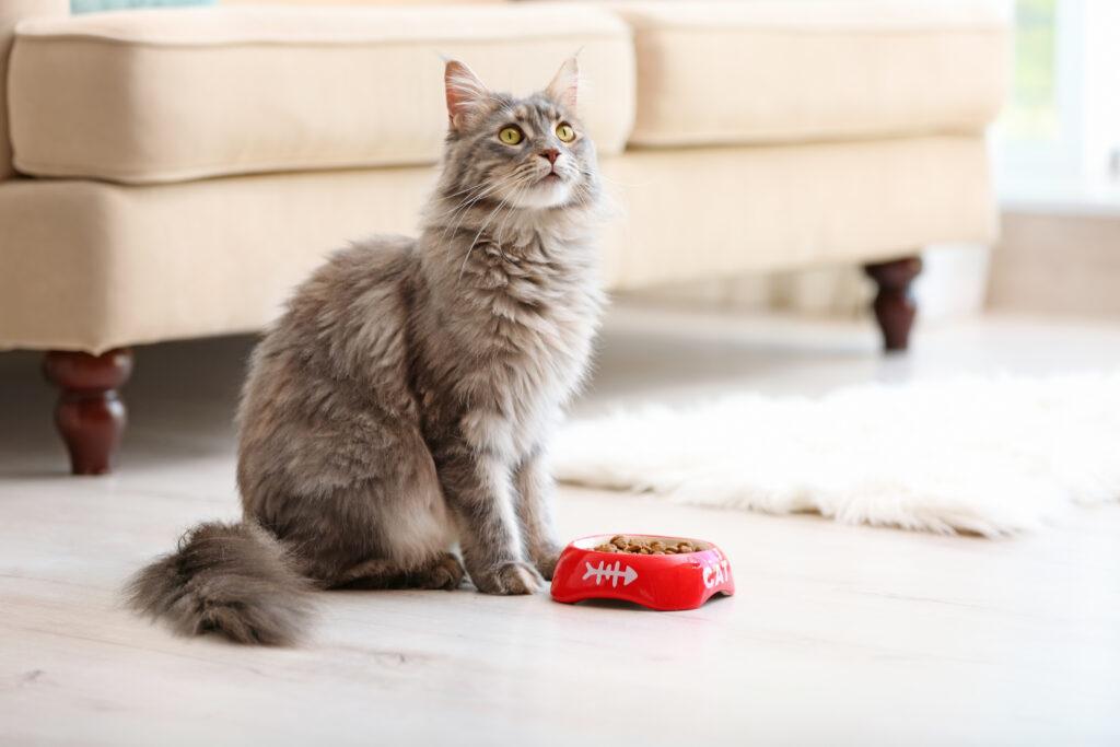 O seu gato não come? Algumas doenças, como problemas na boca, podem causar perda de apetite