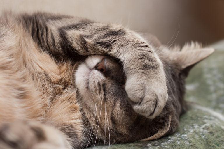 Gripe felina: tal como nas pessoas, a gripe é uma doença que pode tornar-se muito grave.