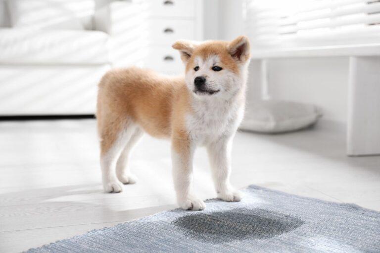 treino de higiene: Um cachorrinho tem que aprender a não fazer as suas necessidades em casa