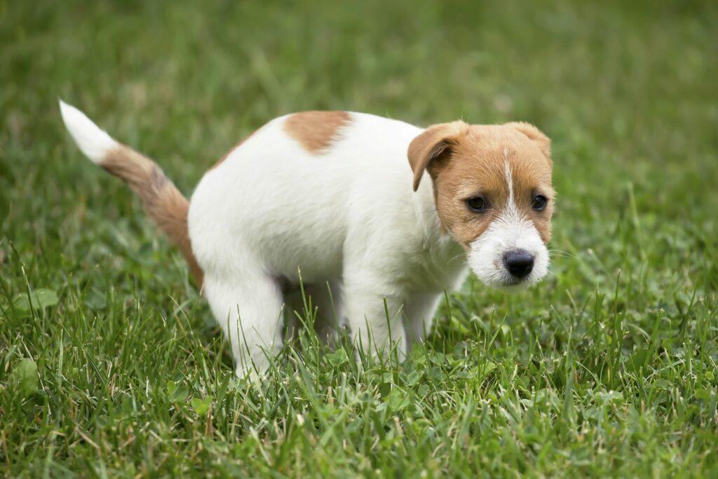 Treino de higiene: Sempre que o seu cachorrinho fizer as suas necessidades na rua mostre-lhe o seu contentamento. Elogie-o carinhosamente.