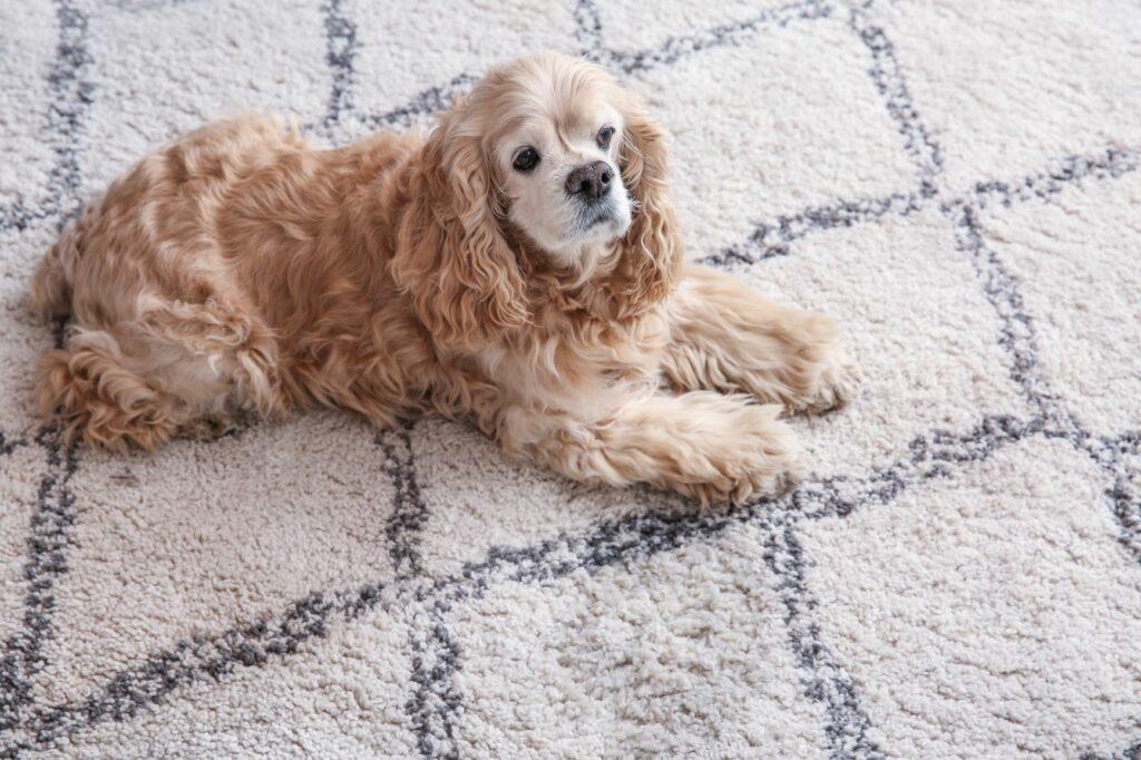 Treino de higiene: Cães adultos podem perder os hábitos de higiene de repente. Na maior parte dos casos esta alteração no comportamento indica que o seu patudo está doente.