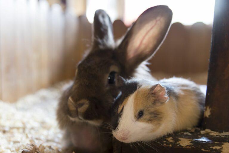 PI ou coelhos_1
