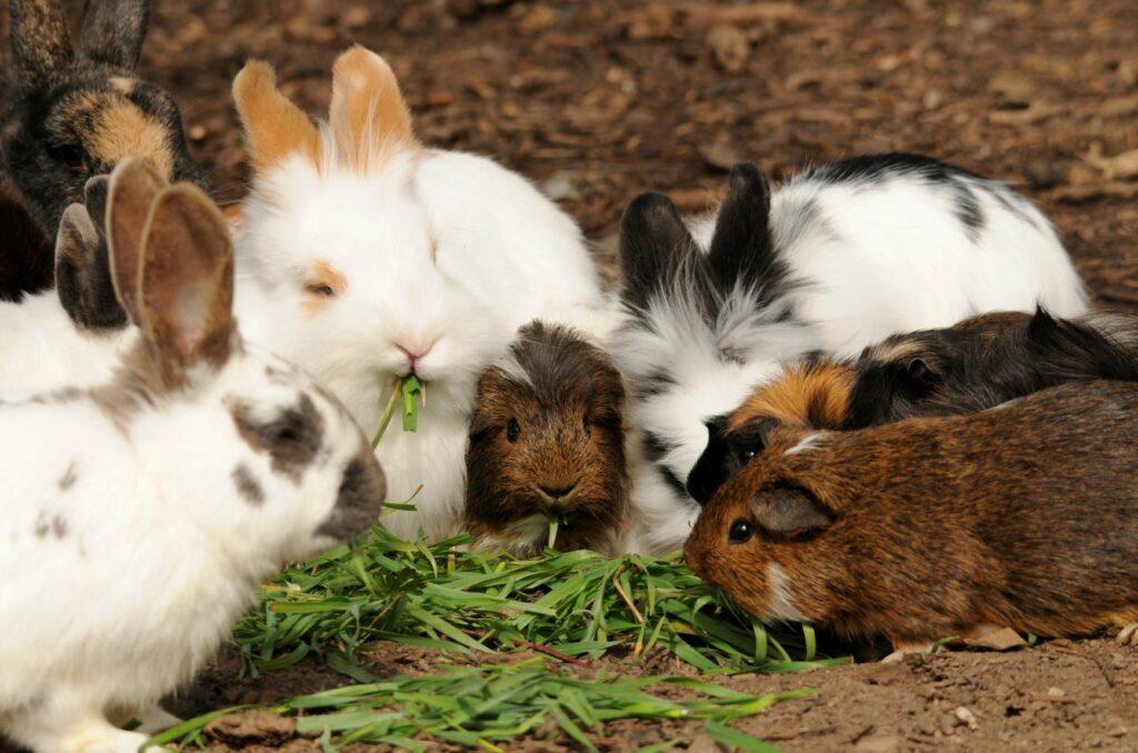 A alimentação dos porquinhos-da-índia e dos coelhos inclui feno e legumes frescos