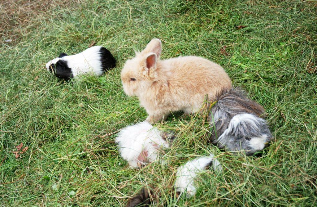 Porquinhos-da-índia ou coelhos? Não precisa de escolher, estes animais convivem muito bem entre si!