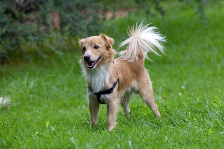 A raça de cães Alopekis é originária da Grécia e pouco conhecida na Europa