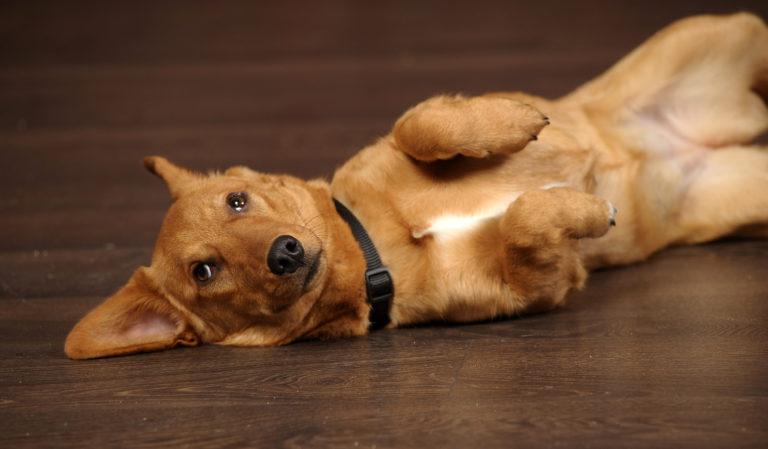 A flatulência nos cães é um problema que causa incómodo e pode ser tratada facilmente.