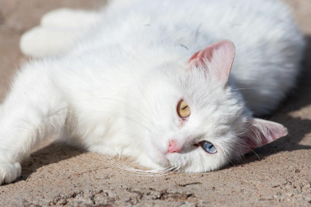 As queimaduras solares em gatos brancos ou sem pelo são mais comuns.