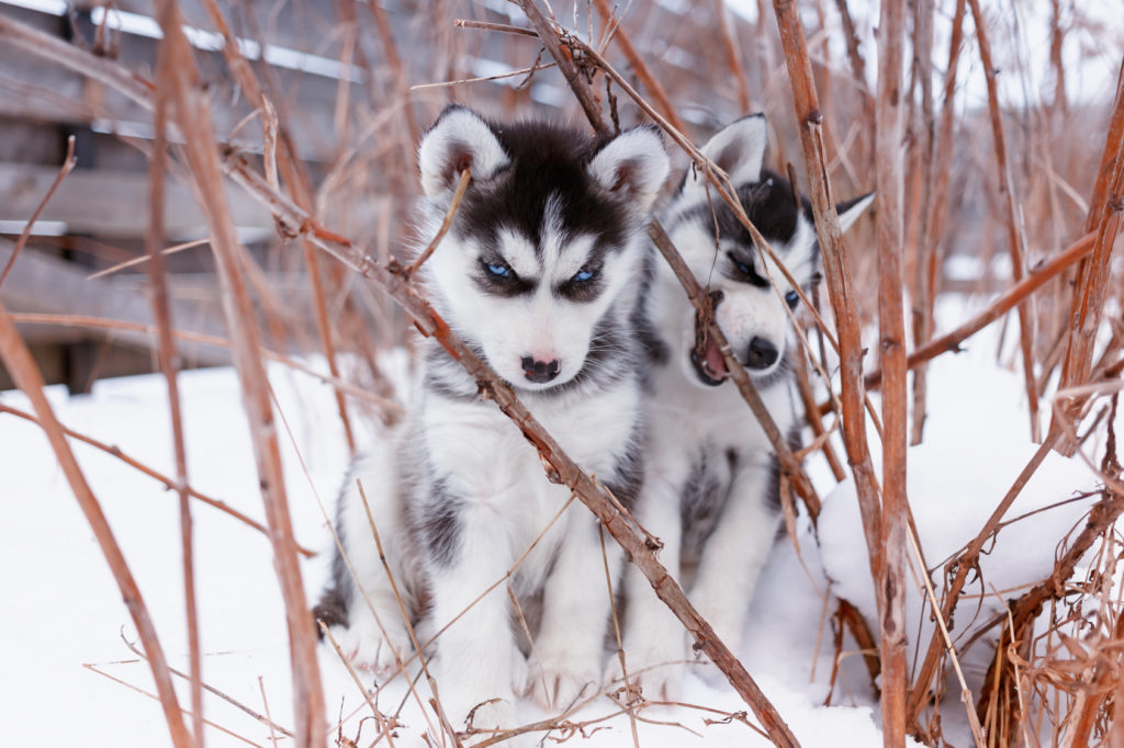 O Husky Siberiano é muito ativo desde que nasce