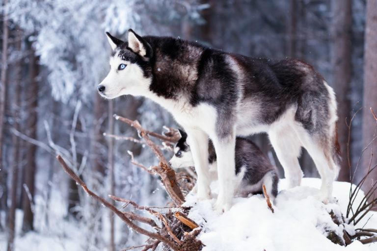 A raça de cães Husky Siberiano desenvolveu-se em regiões com temperaturas muito baixas