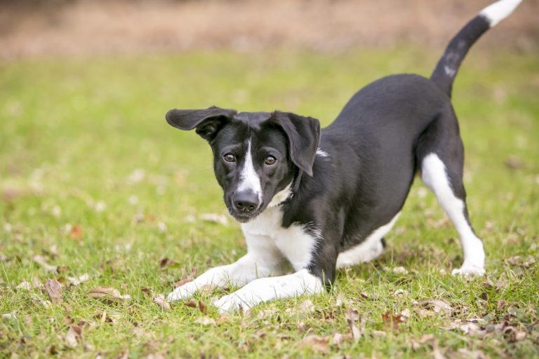 Escolher entre um cão de raça e um cão rafeiro pode ser difícil. Ambos têm vantagens e desvantagens