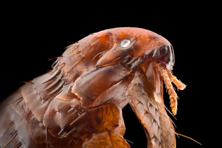 Outros animais são uma das principais causas de pulgas em gatos