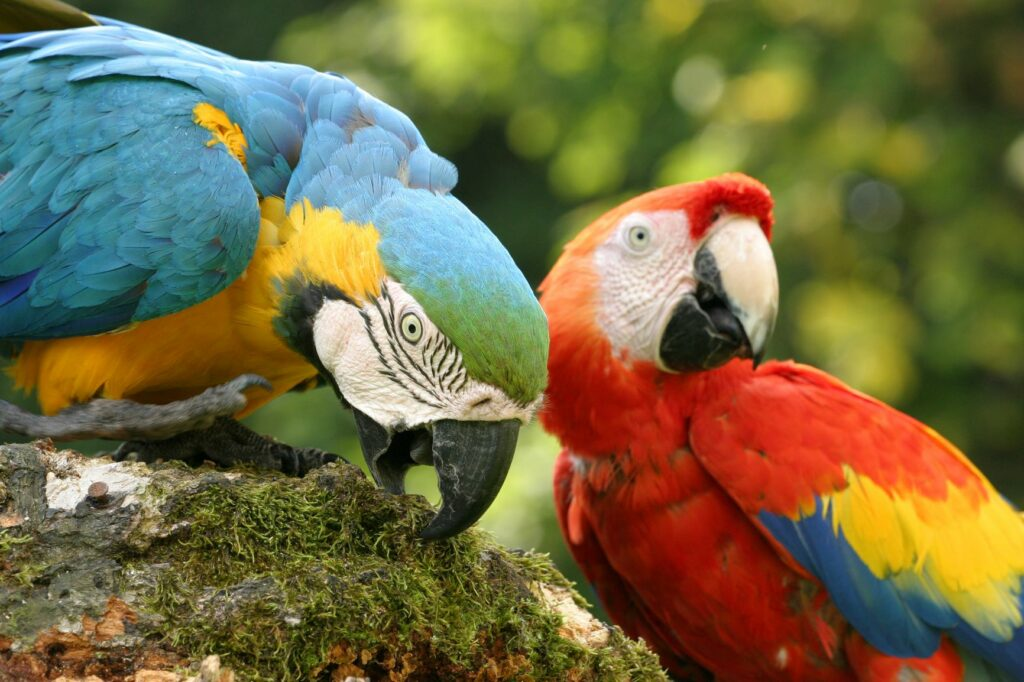 As cores das penas das araras são impressionantes