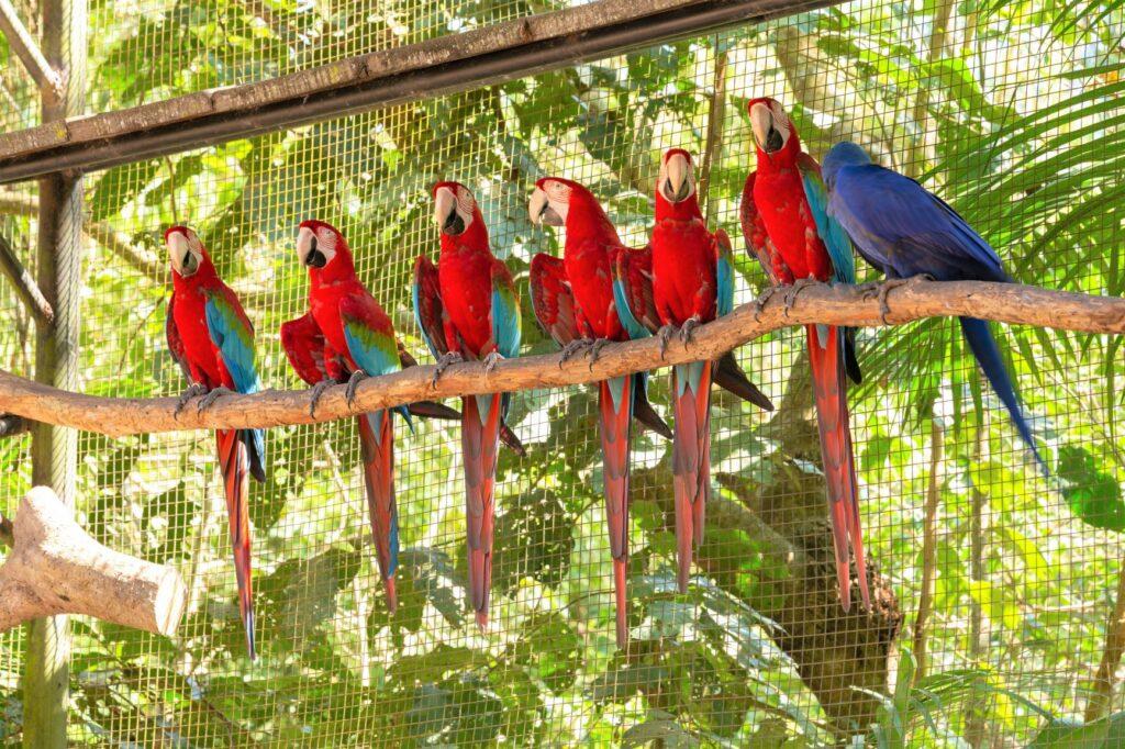 As araras são aves sociais que devem viver com pelo menos um companheiro