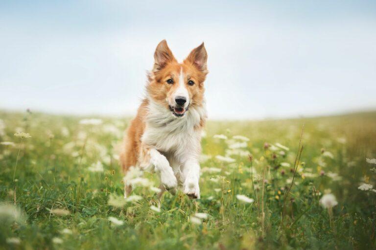 Carraças em cães: estes parasitas podem transmitir doenças aos cães