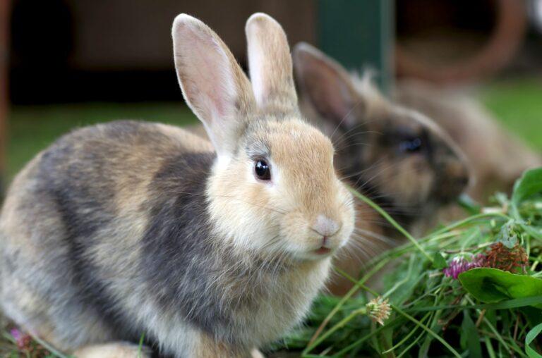 A castração nos coelhos impede a reprodução descontrolada